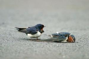 一只燕子突然身遭不測被車撞了,魂歸西天,同伴在車禍現場悲傷無助的站著。